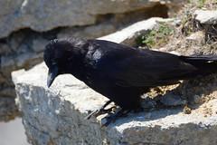 Carrion Crow (James Oliver Lewis) Tags: durlston nature reserve dorset carrioncrow carrion crow nikon d3200 wildlife bird