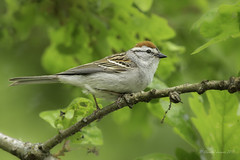 Chipping Sparrow (Chantal Jacques Photography) Tags: bokeh depthoffield wildandfree chippingsparrow