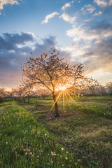 Shining Through The Tree (lukejc1) Tags: goldenhour landscape sunset cherryblossoms midwest evening doorcounty clouds seasons months fishcreek wisconsin usa sky orchards spring may farming cherrytrees america doorcountyphotographer doorcountyphotography landscapephotographer landscapephotography landscapes midwestunitedstates midwestmoment midwesternusa northamerica outdoorphotographer outdoorphotography outdoors sturgeonbayphotographer us unitedstates unitedstatesofamerica wi wisconsinphotographer cloud cloudy countryside doco farm farms flyoverstates orchard rural season wisco