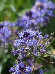 大蔓穂 (Polotaro) Tags: mzuikodigital45mmf18 flower nature olympus epm2 pen 花 自然 オリンパス ペン オオツルボ 4月