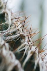 DSC_1320 (dylon_trahan) Tags: spines thorns cactus desert suculent plant green fuzzy macro bokeh