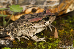 Sclerophrys capensis - Raucous Toad. (Tyrone Ping) Tags: sclerophrys capensis raucous toad frog south africa amphibians african animals cute macro canon canon7d 100mmmacrof28 wild wildlife wildherps wildanimals wilderness mountains animal life wwwtyronepingcoza tyroneping