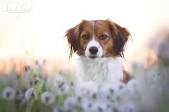 like wakling on clouds (S. Elschner) Tags: hund dog pet outdoor spring colorful bokeh cute kooiker kooikerhondje sunset dandelions