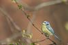 Blámeisa / Eurasian Blue Tit / Blåmeis / Cyanistes caeruleus (Eyfi M) Tags: blámeisa blåmeis cyanistescaeruleus norway norge visitnorway canon eurasianbluetit bird wildlifephotography wildlife canonef600mmf4lisiiusm canoneos1dx birdphotography