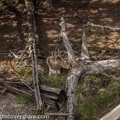 Spotted this resident at the norris geyser basin in #yellowstonenationalpark . . . . . #explorediscovershare #photography #wildlife #rabbit #bunny #norrisgeyserbasin #olympus #olympusomd #olympusomdem1 #getolympus #mirrorless #mırrorlesscamera #wyoming #y (explorediscovershare) Tags: instagram spotted this resident norris geyser basin yellowstonenationalpark explorediscovershare photography wildlife rabbit bunny norrisgeyserbasin olympus olympusomd olympusomdem1 getolympus mirrorless mırrorlesscamera wyoming yellowstone utahphotographer roadtrip travel traveler flickr picoftheday photoofday wildlifephotography