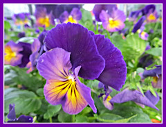 Fancy Pansy - Explored #182 (bigbrowneyez) Tags: fiori pansies beautiful gorgeous belli bellissimi colourful colours fancy fancypants dof bokeh delightful purple faces charming fabulous frame cornice feelingjoy striking stunning fun detail pattern fresh nature natura lovely pretty amazing sweet dolce priceless explored explored1822017
