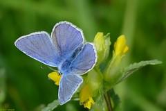 Icarusblauwtje (jehazet) Tags: butterflies vlinders commonblue polyommatusicarus