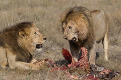 Think I've had enough...you? (Hector16) Tags: africa nomad safari serengeti ndutu outdoors tanzania pantheraleo drought wildlife lion shinyangaregion tz