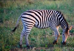 DSC_0368 (Miss Mary D) Tags: kruger national park south africa wildlife safari nature zebra