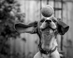 Contact (Frank Shepherd) Tags: canon70d canon pet monochrome hounddog hound dog beagle blackandwhite