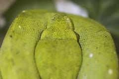 Reptiles Day 2017 (silvia_mozzon) Tags: reptilesday reptiles herp snake snakes lizard iguana morelia moreliaviridis pyton curtus pytoncurtus longarone reptileshow rettili anfibi serpenti