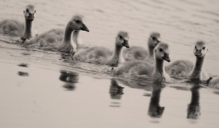 Some baby cygnets