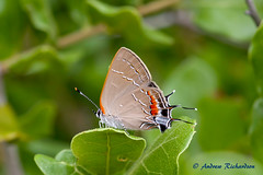 Southern Oak Hairstreak (Andrew's Wildlife) Tags: southern oak hairstreak wekiwaspringsstatepark butterfly