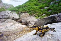 Fire Salamander, Salamandra salamandra fastuosa (Matthieu Berroneau) Tags: voigtlander 15mm f45 super wide heliar ii leica mmount voigtlander15mmf45superwideheliarii sony alpha macro nature france herpéto wildlife animal animaux ff 24x36 full frame a7ii 7ii 7mk2 sonyilce7m2 herping herpeto sonya7ii sonya7mk2 sonyalpha7mark2 sonyalpha7ii salamandrasalamandrafastuosa fastuosa amphibians pyrénées trip varliagyviai arrabio arrunta firesalamander salamandrasalamandra salamandretachetée amphibien amphibian amphibia urodèle caudata tailed salamandre tachetée salamander fire salamandra común