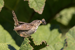Ratona Aperdizada - Cistothorus platensis - Sedge Wren
