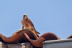 Oiseaux en Languedoc-Roussillon