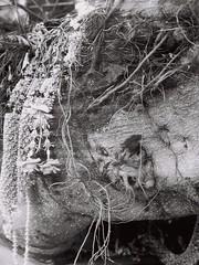 Sacred Bangkok (35mm) (jcbkk1956) Tags: tree old garland flowers buddhist buddhism sacred manual film 35mm ilfordpan100 carlzeiss 45mmf28 bangkok thailand thonglo worldtrekker spirits grain texture