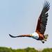 African Eagle in Flight 2