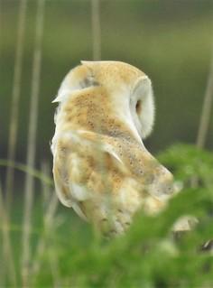 Barn Owl - Ruffled Feathers - Cresswell