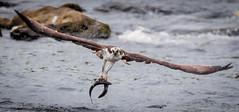 Two for One (Vic Zigmont) Tags: osprey birds raptor birdinflight ospreywithprey doublecatch
