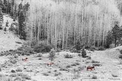 Three Horses (Striking Photography by Bo Insogna) Tags: three 3horses horse colorado landscapes selectivecoloring blackwhite bw nature wilderness wildhorses insogna forest