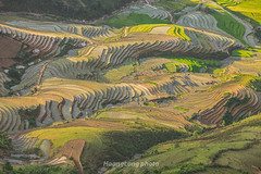 File712.0617.Lìm Mông.Cao Phạ.Mù Cang Chải.Yên Bái (hoanglongphoto) Tags: asia asian vietnam northvietnam northwestvietnam landscape scenery vietnamlandscape vietnamscenery vietnamscene terraces terracedfields terracedfieldsatvietnam transplantingseason sowingseeds afternoon sunny sunnyafternoon sunnyweather valley flanksmountain hdr canon canoneos1dsmarkiii canonef70200mmf28lisiiusmlens tâybắc yênbái mùcangchải caophạ lìmmông phongcảnh ruộngbậcthang ruộngbậcthangmùcangchải thunglũng thunglũnglìmmông mùacấy đổnước mùacấymùcangchải đổnướcmùcangchải sườnnúi buổichiều nắng nắngchiều bóngđổ hillside sườnđồi tophill đỉnhđồi sunlight abstract trừutượng curve đườngcong