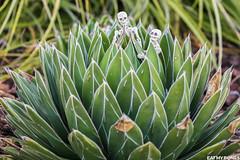 Cactus - Pose Skeleton - Toy photography - Miniature - Eat my Bones (EatMyBones) Tags: cactus figurine garden miniature poseskeleton rement skeleton toy toyphotography