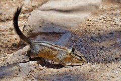 Bryce Canyon Least Chipmunk (Susan Roehl) Tags: nationalparkstour2017 brycecanyonnationalpark paunsauguntplateau southwesternutah usa chipmunk animal mammal small stripedrodent omnivore sciuridaefamily tamiasgenus eatsseeds nuts fruits buds grass shoots fungi insects smallfrogs worms birdseggs sueroehl panasonic lumixdmcgh4 100400mmlens handheld photographedalongtrail outdoors