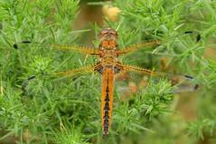 Scarce Chaser (Libellula fulva) (Nick Dobbs) Tags: scarce chaser libellula fulva dragonfly insect heath heathland dorset