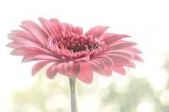 Pink Gerbera.. (Imagine8 Photography) Tags: imagine8photography flora gerbera pink windowlight petals nikon highlands scotland