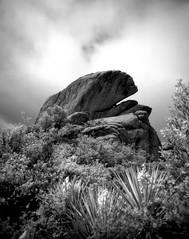 The Mojave Rock Whale (Scott Holcomb) Tags: newtoscience rare endangered carutherscanyon newyorkmountains mojavenationalpreserve california asahipentax6x7 smcpentax671445mmlens 82mmr72irfilter konicainfrared750film blackwhiteinfrared 120film mediumformat 6x7 epsonperfectionv600photo photoshopdigitalization
