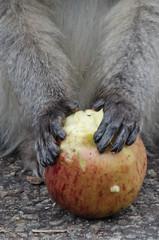Le fruit défendu.jpg (BoCat31) Tags: singe mains nature afrique voyage animaux vervet pomme
