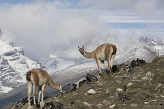Chile (richard.mcmanus.) Tags: chile southamerica torresdelpaine animals guanaco wildlife mcmanus gettyimages patagonia