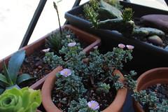 Oscularia deltoïdes (S.Mt) Tags: succulentes succulents plantes grasses cactus fleurs flower echeveria aeonium oscularia rebutia grapto nature plants