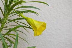 """Fiore giallo di """"Thevetia peruviana"""" o """"Cascabela Thevetia"""" (costagar51) Tags: palermo sicilia sicily italia italy fiori piante natura"""