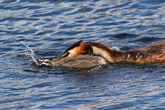 Adult grebe trying to drown young chick. (E P Rogers) Tags: podicepscristatus greatcrestedgrebe reserve birds water chick