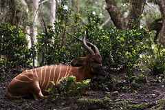 Eastern Bongo (Find The Apex) Tags: kilimanjarosafaris disney waltdisneyworld wdw disneyworld disneyresort disneysanimalkingdom dak animal bongo tragelaphuseurycerus easternbongo
