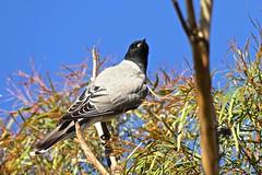 Black Faced Cuckoo Shrike (Rodger1943 (Away till June)) Tags: balckfacedcuckooshrike shrikes australianbirds fz1000