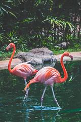 Flamingo (Kou Thao) Tags: animals nature wildlife hawaii scenery photograhy kokohead adventure vintage vibes tropical airplane sky sunset clouds traveler luau horse jungle