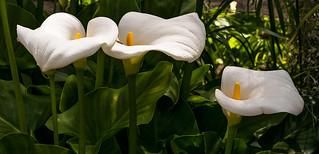 Trío de Zantedeschia aethiopica.