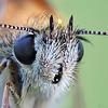 Large Skipper (pen3.de) Tags: penf zuiko 60mmmakro wildlife natur wiese tier insekt falter schmetterling butterfly augen facettenaugen haarig fühler focusbkt falterportrait makro