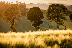 Trees in backlight (bernd obervossbeck) Tags: backlight gegenlicht abendlicht abendstimmung abendsonne evening eveninglight eveningsun eveningmood trees bäume field feld landscape landschaft landscapephotography landschaftsfotografie sauerland hochsauerland fujixt1 berndobervossbeck