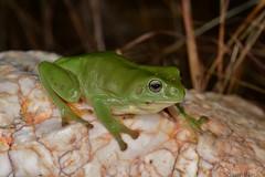 Green Tree Frog (Litoria caerulea) (shaneblackfnq) Tags: green tree frog litoria caerulea shaneblack amphibian mt mount carbine fnq far north queensland australia tropics tropical quartz