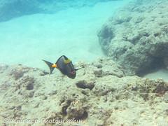 Hanauma Bay 7 (venusnep) Tags: hanaumabay hanauma bay underwater tropicalfish tropical fish iphone watershot watershotpro hawaii snorkeling travel travelphotography may 2018