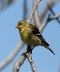 IMG_3757 Chardonneret jaune, Roberval (joro5072) Tags: animal nature oiseau bird chardonneret goldfinch