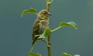 Greenfinch,