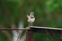Luscinia svecica (Sergei Spiridonov) Tags: lusciniasvecica варакушка birds manualfocusing jupiter37a13535 lumixgm1