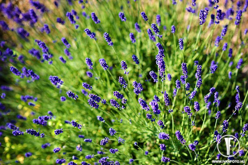 170620_011_lavender