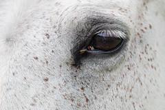 OASIS I Oázis (krisztian brego) Tags: olympus omd em10 mzuiko digital 60mm f28 macro szalatnak home horse eye flies