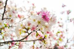 DSC_4424 (Frankie Tseng (法蘭基)) Tags: yms taipei taiwan flower flowers nikon cherryblossoms summer spring 2017 abstract blur bw bwphotography blackwhite yangmingshan 台北 櫻花 陽明山 台灣 抽象